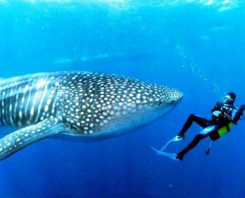 Le Maldive in barca squalo balena sub